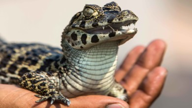 Photo of O rei do Pantanal