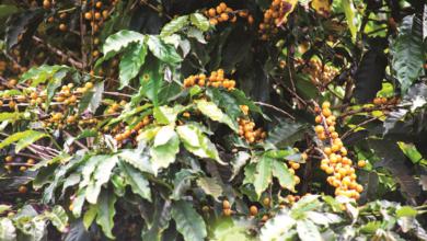 Photo of Ouro verde brasileiro
