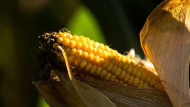 Photo of Viva o milho e suas cores!