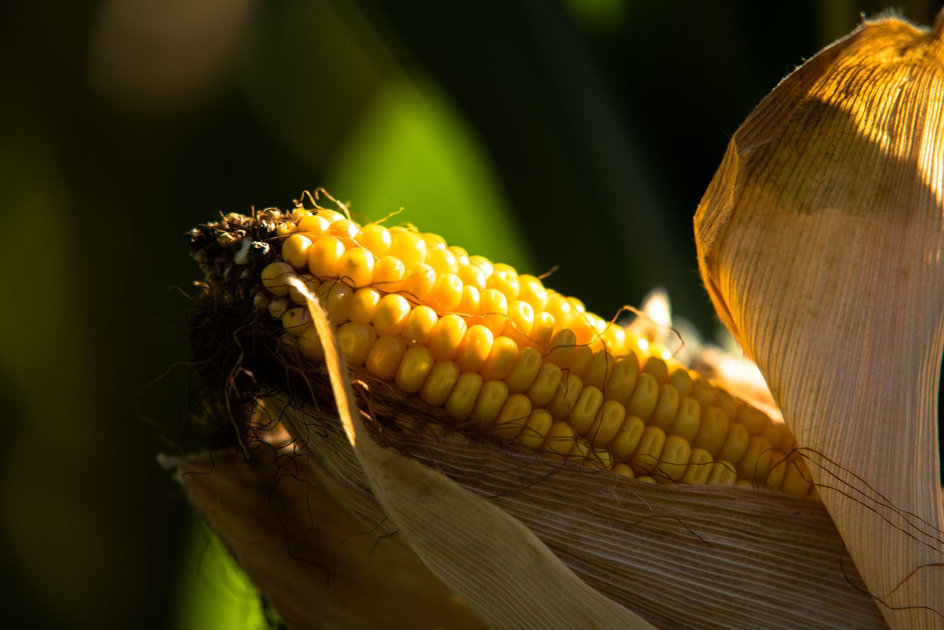 milho genérica_ Foto: Pixabay, divulgação