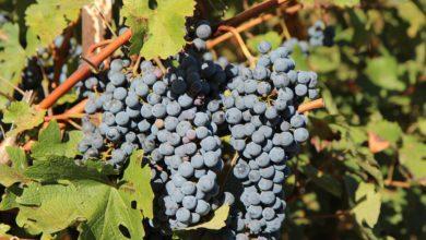 Photo of Merlot: a uva dos vinhos delicados